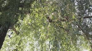 poplar tree or cottonwood white fluffy seeds in the green grass