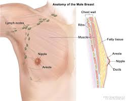 Anatomy Of Women Body Male Breast Cancer Treatment Pdq U2014patient Version National