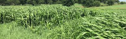 forage crop and pasture department of agronomy and horticulture