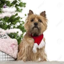 cairn terrier 2 years sitting with tree and gifts
