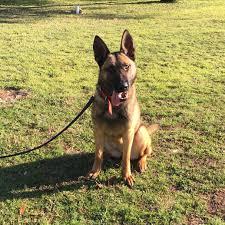 belgian shepherd oklahoma sold dogs worldwide canine inc