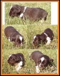 australian shepherd 3 weeks old mini aussie pup for sale 2014 litter 5 callie pup 3 blue eyed