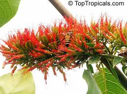 Tropical Climbing Plant - 893 best sub tropical gardens images on pinterest tropical