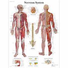 nervous system in the human body human anatomy chart