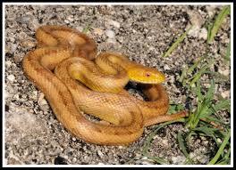 eastern rat snake florida backyard snakes