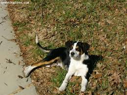 7 month old bluetick coonhound a photo of a 12 months old black tan white mountain feist