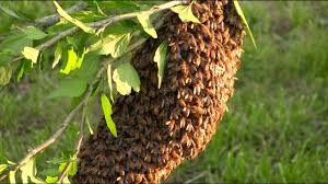 How To Get Rid Of A Beehive In Your Backyard How To Start Your Own Beehive Start With A Swarm Youtube