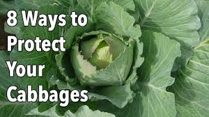 garden pests 8 ways to protect your cabbages youtube