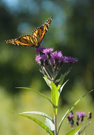 native plant source ironweed vernonia fasciculata a tall plant that likes medium