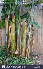 growing banana trees stock photos u0026 growing banana trees stock