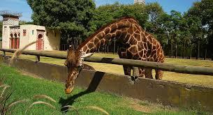 imagenes de amistad jirafas la altura de las jirafas