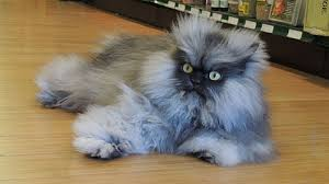 Colonel Meow Memes - colonel meow takes guinness record for longest fur on a cat