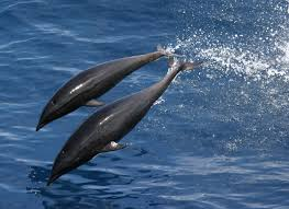 northern right whale dolphin wikipedia