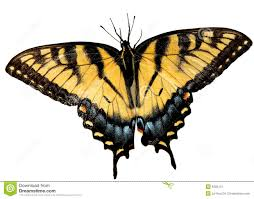easter tiger swallowtail butterfly stock photo image of insect