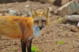 brown fox free stock photo