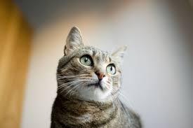 alimentazione casalinga gatto dieta sana e fresca per il gatto adulto centro omeopatico