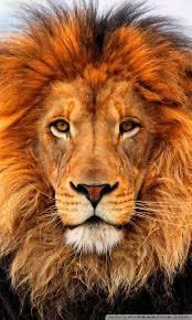 male lion wallpapers lion 4k hd desktop wallpaper for u2022 wide u0026 ultra widescreen