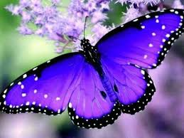 planning a butterly garden butterfly blue butterfly and heavens