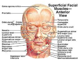 Orbicular Oris Muscles Of The Face And Neck Expertbeautyspa