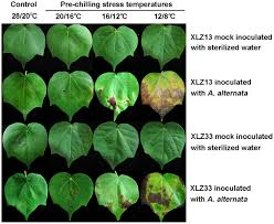Plant Disease Journal - chilling stress u2014the key predisposing factor for causing alternaria