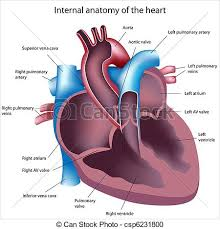 drawing of human heart cross section detailed illustration of a