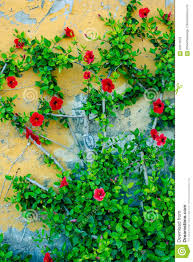 red flowers climbing wall stock photo image 84512670