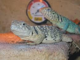 common collared lizard crotaphytus collaris wiki