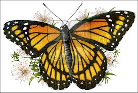 viceroy butterfly limenitis archippus line art and full color
