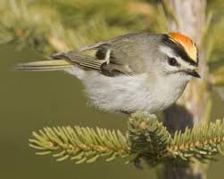 golden crowned kinglet audubon field guide