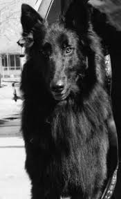 belgian sheepdog and cats 40 best belgian sheepdog images on pinterest belgian shepherd