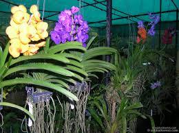 vanda orchid vanda prchids vanda orchids species family information orchids