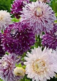 163 beautiful types of flowers a to z with pictures dahlia
