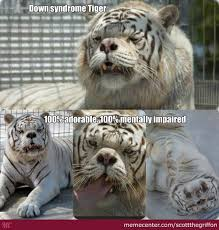 Funny Tiger Memes - anyone else think the tiger is cute by scottthegriffon meme center