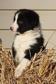 australian shepherd x border collie puppies border collies miniature american shepherds and english setters