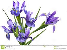Iris by Flower Iris Stock Images Image 14279274