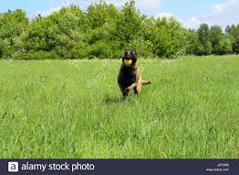 belgian sheepdog guard dog belgian dog stock photos u0026 belgian dog stock images alamy