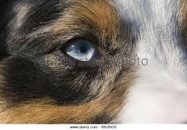 australian shepherd nose australian shepherd dog eye stock photos u0026 australian shepherd dog
