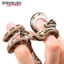 Baby Carpet Baby Tiger Jaguar Carpet Pythons For Sale Underground Reptiles