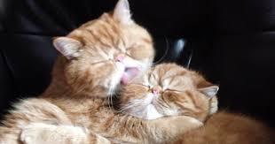 Persian Cat Meme - kissing cat video takes an unexpected turn bored panda