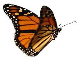 butterfly png 1372 994 borboletas pinterest