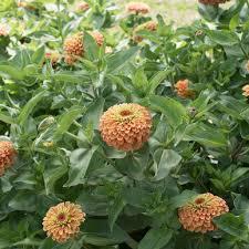 zinnias flowers lime orange zinnia seed johnny s selected seeds
