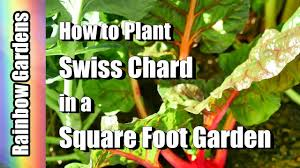 how to plant swiss chard in a square foot garden easy healthy