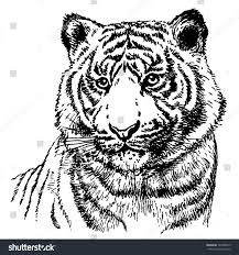 hand drawn realistic sketch malayan tiger stock vector 346708019