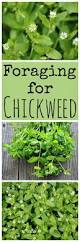 265 best herbs images on pinterest edible plants survival