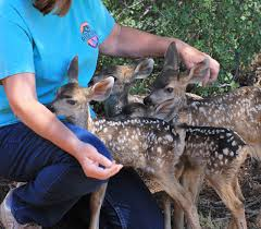 Wildfire Williams Arizona by Wildfire Fallout Displaced Fawns Relocated To Williams Williams