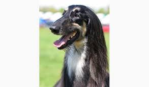 afghan hound in clothes afghan hound breed information