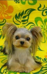 hair accessories for yorkie poos best 25 yorkshire terrier haircut ideas on pinterest yorkie