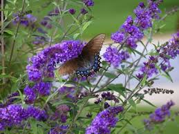 Fertilizer For Flowering Shrubs - do butterfly bushes need fertilizer u2013 when and how to fertilize a