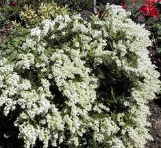 White Flowering Shrub - ed u0027s favorites pieris