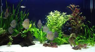Live Plants In Community Aquariums by Beginner U0027s Guide To Discus The Planted Tank Forum